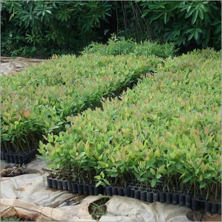 Eucalyptus Clonal Nursery