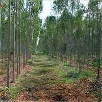 Eucalyptus Tree Plantation