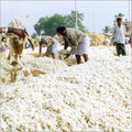 Raw Cotton Heap