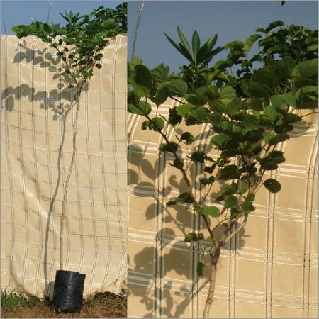 Bauhinia Blakeana Plants
