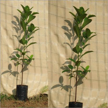 Artocarpus Heterophyllus Plant (Panasa)