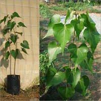 Thespesia Populna Plant (Gangaravi)