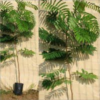Peltophorum Ferrugineum Plants