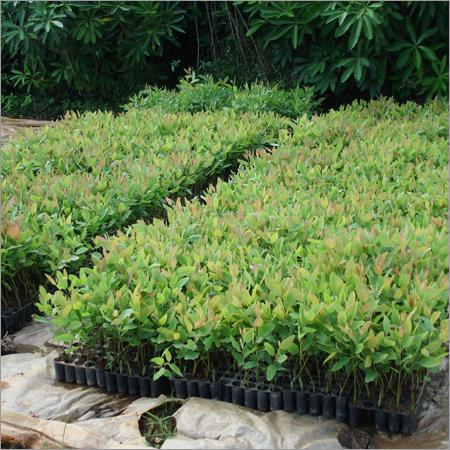Clonal Eucalyptus Plantations