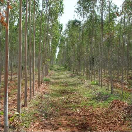 Eucalyptus Clonal Plant