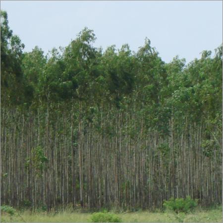 Clone Eucalyptus Tree