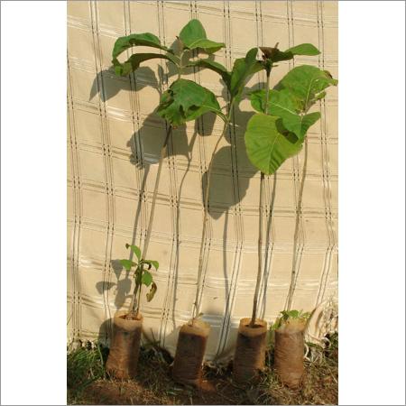 Ayurvedic Medicinal Plants Tectona Grandis