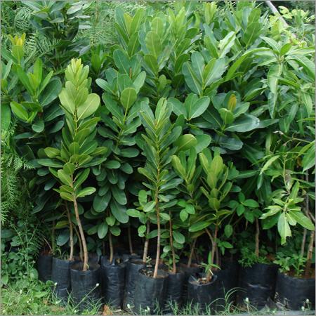 Calophyllum Inophyllum (Ponna)