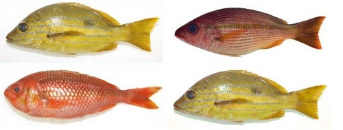 Blue Line Seafood Fish