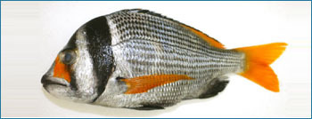 Double Bar Seabream Seafood Fish