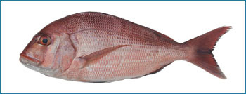 Red Sea Bream Seafood Fish