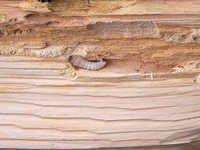 Wood Borer Control