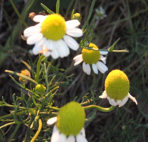 Chamomile ( Roman ) Essential Oil