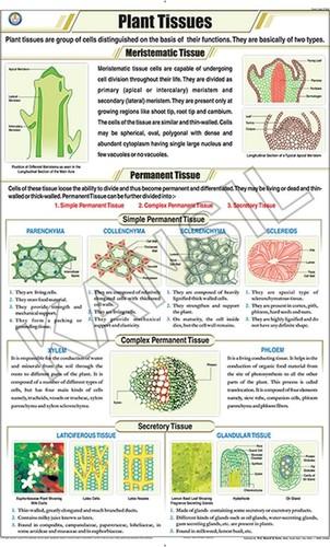 Plant Tissues Chart
