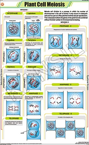 Plant Cell Meiosis Chart