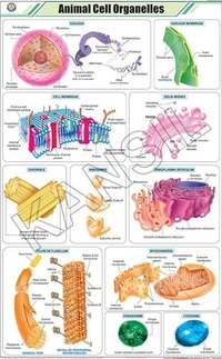 Animal Cell Organelles Chart