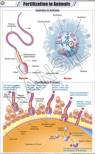 Fertilization in Animals Chart