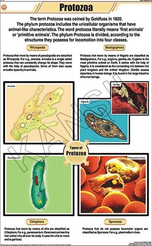 Protozoa Chart