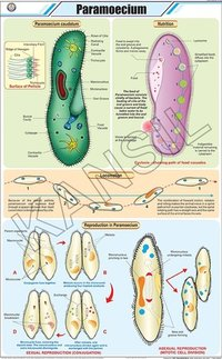 Paramoecium Chart