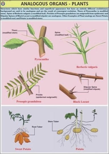 Plant Analogous Organ Chart