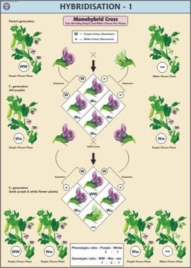 Hybridisation-1(Monohybrid Cross) Chart