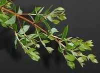 Lawsonia Alba