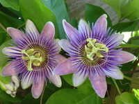 Passiflora Herbs