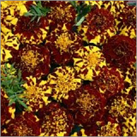 Marigold Mr Majestic Double Seeds