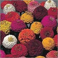 Zinnia Seeds Lilliput Mix