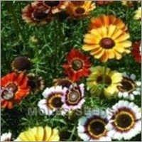 Chrysanthemum Merry Mixed