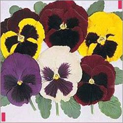 Pansy Majestic Giants Mixed