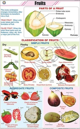 Botany Fruits Chart Dimensions: 58 A  90  Centimeter (Cm)