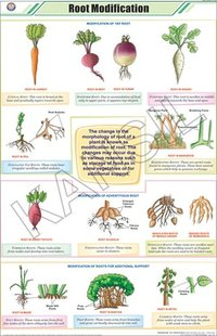 Root Modifications Chart