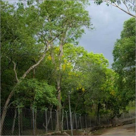 Sandalwood Aromatic Plants