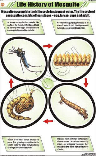 Life History of Mosquito Chart