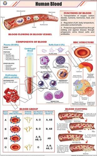 Human Blood Chart