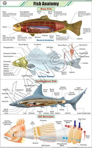 Fish Anatomy Chart