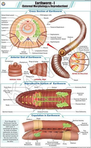 Earthworm l : Ext. Morphology & Reproduction chart