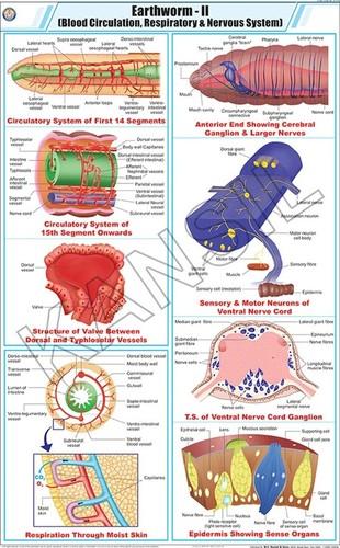 Earthworm ll: Blood Circulation, Respiratory & Nervous System