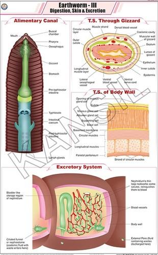 Earthworm III: Digestion , Skin & Excretion Chart