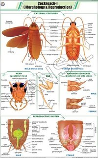 Cockroach l: Morphology & Reproduction Chart