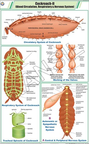 Cockroach ll: Blood Circulation, Respiratory & Nervous System