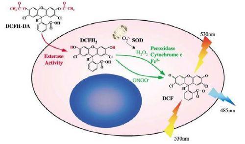 2,7-Dichlorofluorescein