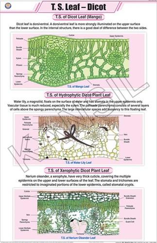 T.S. Leaf Dicot Chart