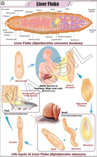 Liver Fluke Chart