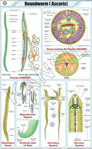 Roundworm (Ascaris) Chart