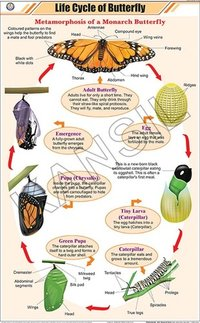 Life Cycle of Butterfly Chart