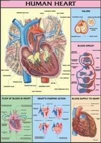 Human Heart Chart