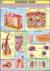 Human Skin Chart