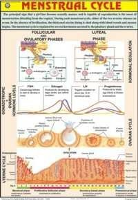 Menstrual Cycle Chart
